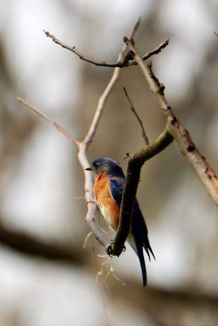 Easter Bluesbird